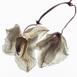 verwelkte orchidee