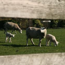 lammetjes door het hek gezien