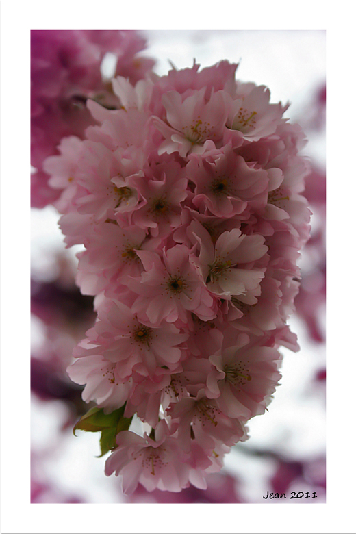 Fleur Rose Prunus Natuur Foto Van Damarofoto Zoom Nl