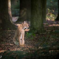 Lynx in het ochtendzonnetje