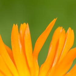 Gele bloem detail