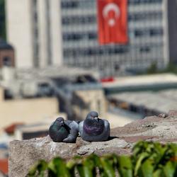 Turkse tortelduifjes