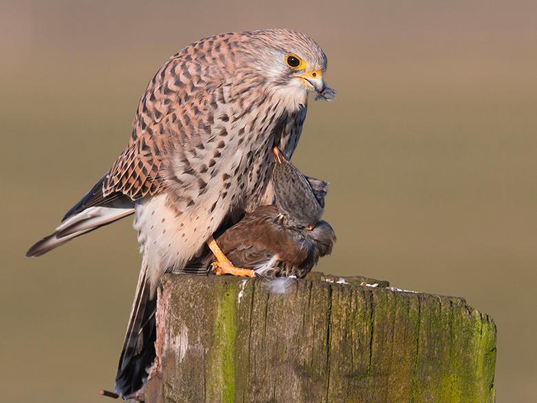 torenvalk eet kramsvogel - Hier nog eentje van de torenvalk die een kramsvogel aan zijn menu toevoegde. Normaal gesproken bestaat hun hoofdvoedsel uit