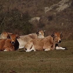 Maraichine koeien