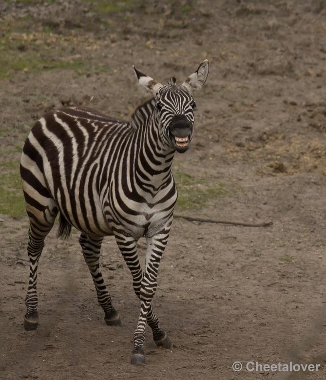 Say cheeeeeeeeeeeese... - Heb al veel bezoekjes gebracht aan Safaripark Beekse bergen en nog verassen mij de dieren soms, zoals deze lachende Grant Ze