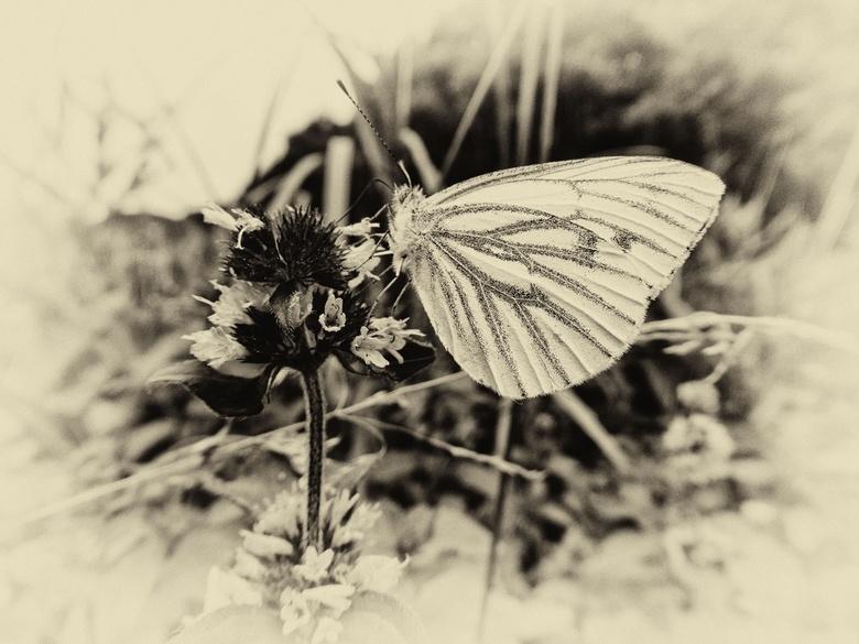 Geaderd witje - Zwart-wit foto van het geaderd witje