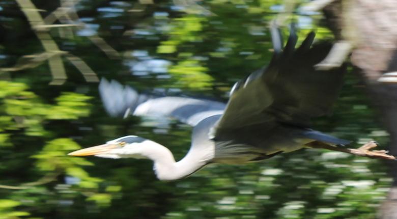 vliegende reiger  -