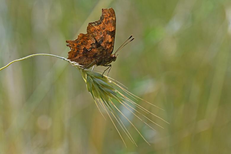 familie-gedoe - De gehakkelde aurelia behoort tot de schoenlapper-familie. De familie wordt ook wel aurelia's of Nymphalidae genoemd. Insecten va