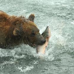 beer grijpt zalm