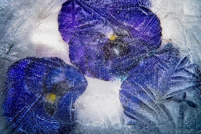 Viool vk - 3 violen ie een bakje met water,en daarna ingevroren in de vriezer.