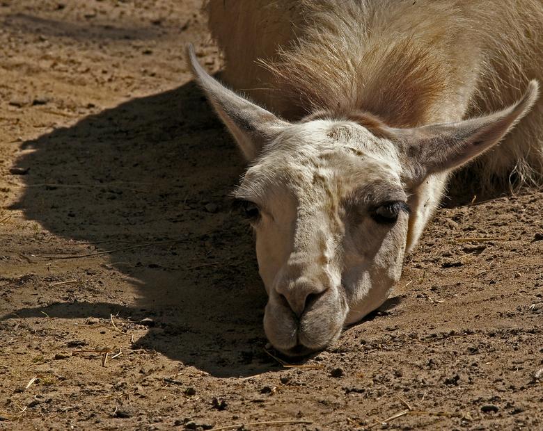 Moedeloos - Sommige dieren lijken de moed een beetje op gegeven te hebben. gr. Nel