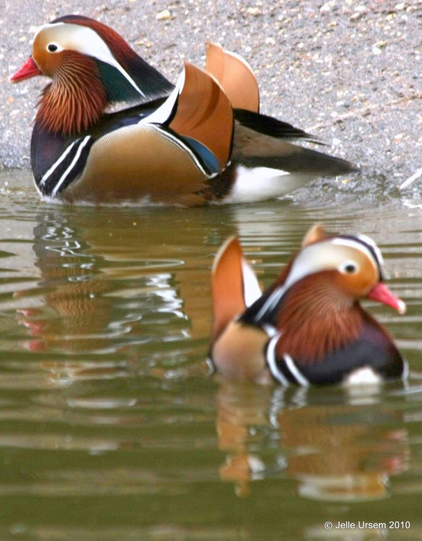 Duckies - Chinese eendjes in avifauna