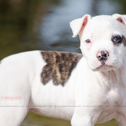 Amerikaanse Bulldog puppy Dunya