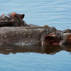 Nijlpaarden in Ngorongorokrater