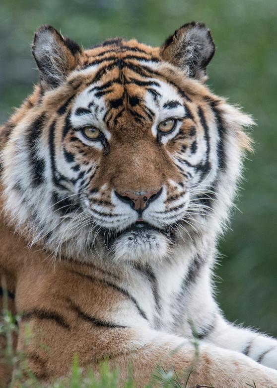 tijger