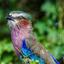 Een pauw heeft prachtige kleuren, maar dit doet er niet voor onder.