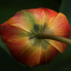 Geknakte tulp