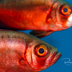 Big eye Red Snappers