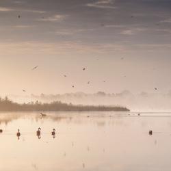 Flamingo's met een passerende ree in Duitse veengebied