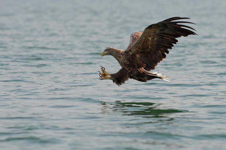 Zeearend nr 2 - &quot;Op foto klikken is mooier&quot;<br /> <br /> Hier het moment dat de Zeearend zijn poten gestrekt doet om de vis te vangen!<br
