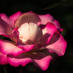 Winter of niet, een roos is altijd mooi.