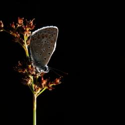 icarusblauwtje op pitrus LO0A6980 A R