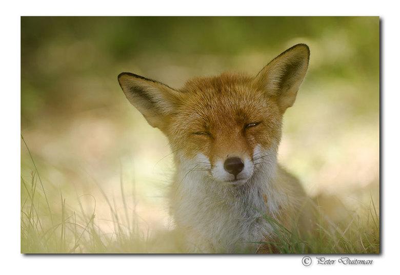 Sly fox - ..