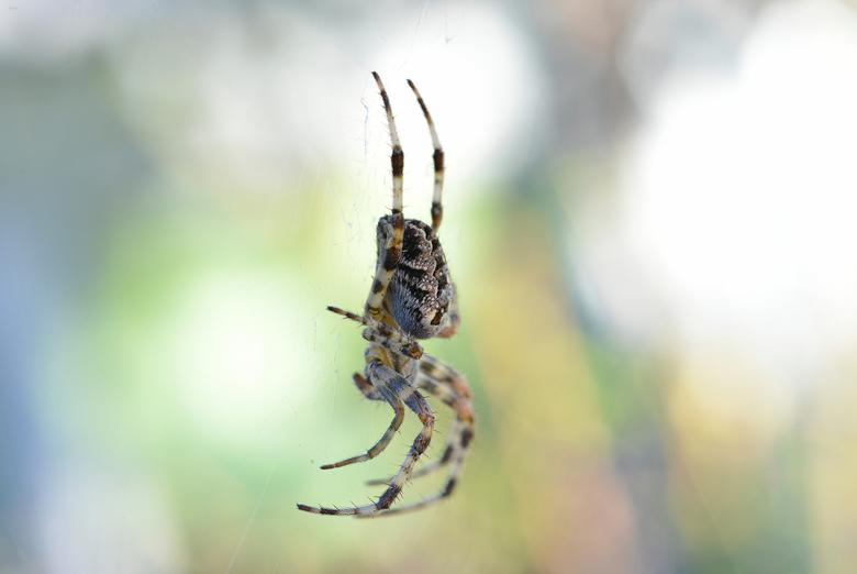 Pretty Spider - Prachtige kruisspin in de tuin.