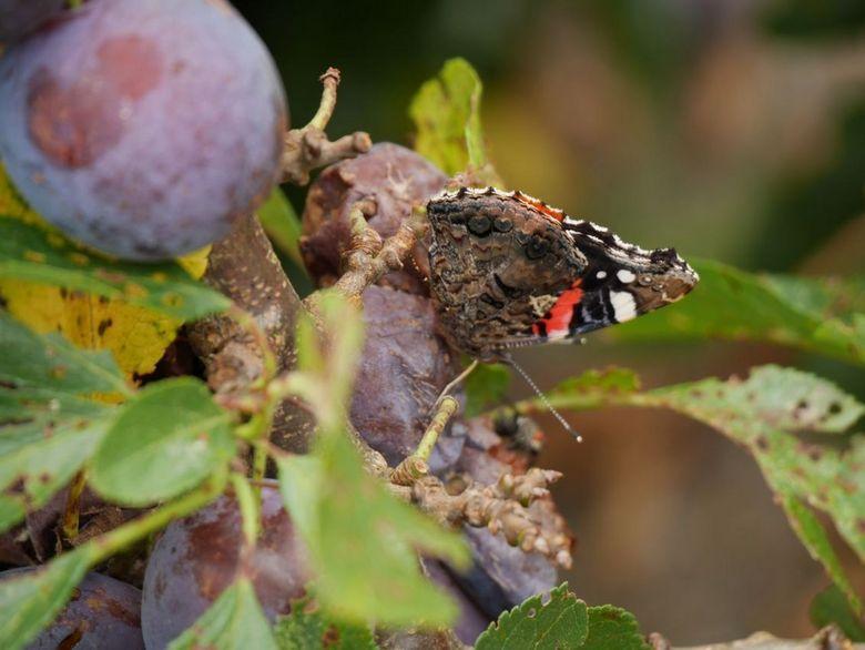 Fruitvlinder - Atalanta op een pruimenplant