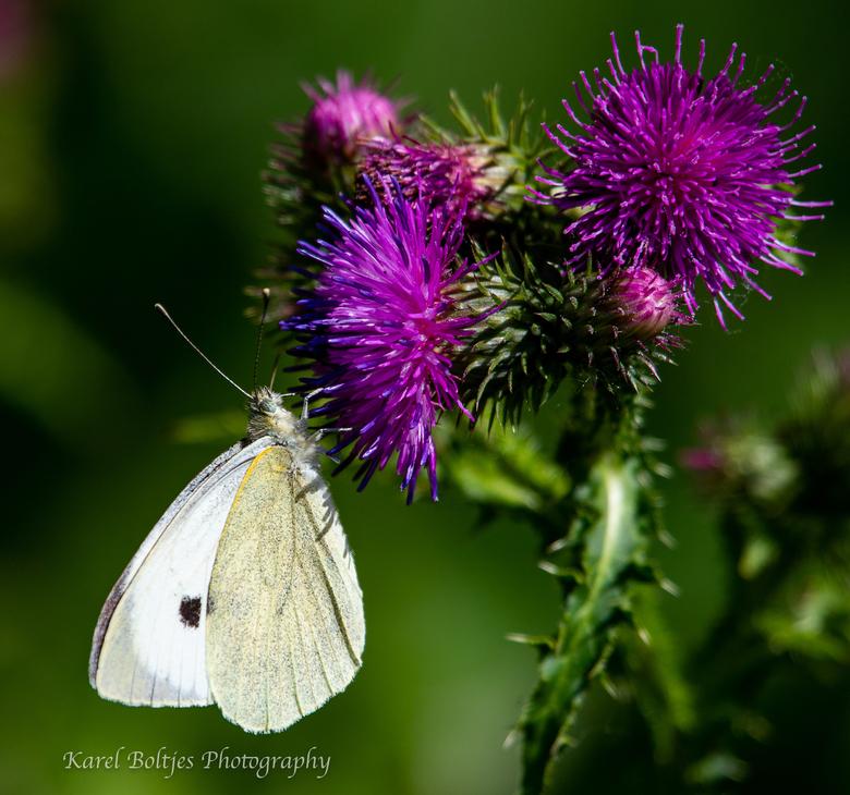 mijn tweede  - Zowaar mijn tweede vlinder kunnen vastleggen.