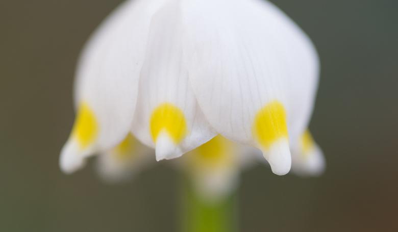 Lente klokjes - Soft foto van een lente klokje. Gebruikmakend van een ingebouwde soft filter in de camera.