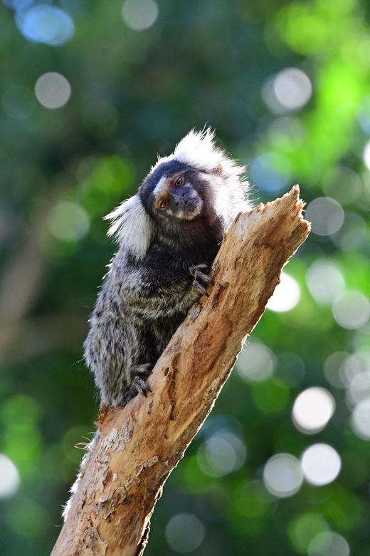 verborgen - Penseelaapjes leiden een verborgen bestaan. Die (veilige) gewoonte uit de Braziliaanse regenwouden houden zij ook vast in de zoo Terra Nat