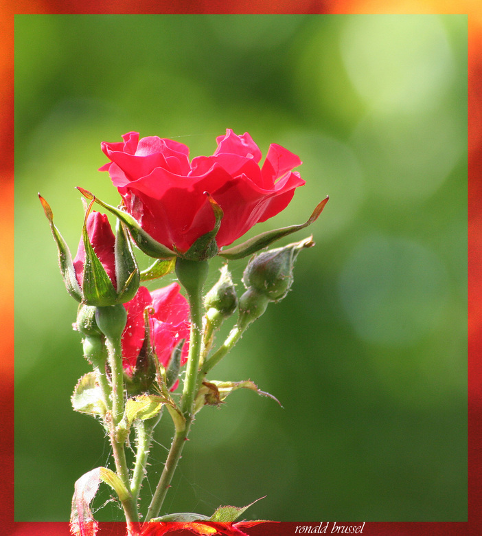 red red rose -