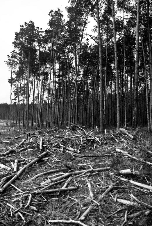 takken, bos - een naaldbos nabij Ugchelen, op de Veluwe. De voorgrond is bezaaid met kale, witte takken