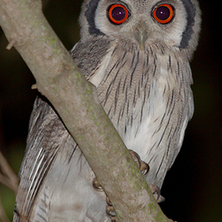 White-faced scops uil (Otus leucotis)