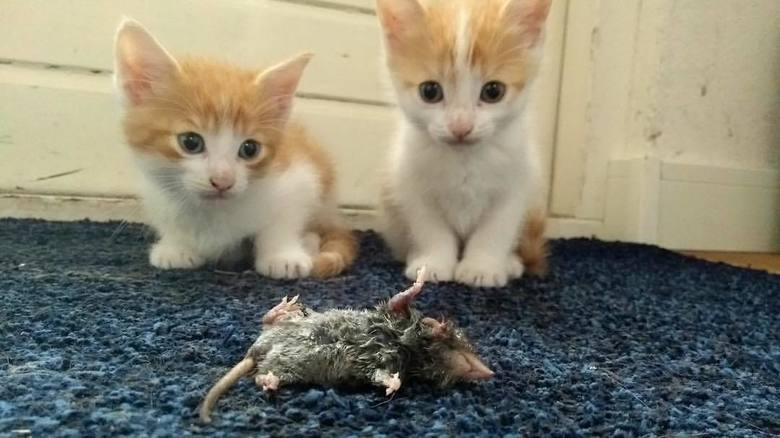 kittens met dode muis - niet superscherp, maar het moment spreekt boekdelen lijkt me. Hun allereerste gevangen muis.