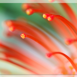 Rode Nutan bloem
