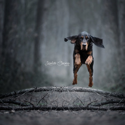 Jumping Coonhound