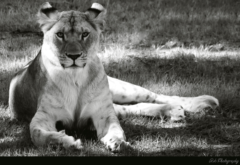 Lion Black And White Dieren Foto Van Rvb Photography Zoomnl