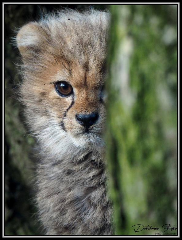 Peek-A-Boo - Cheeta cub playing Hide And Seek