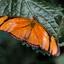 Dryas Julia (Passiebloem vlinder)