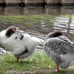 gans en eend aan de waterkant