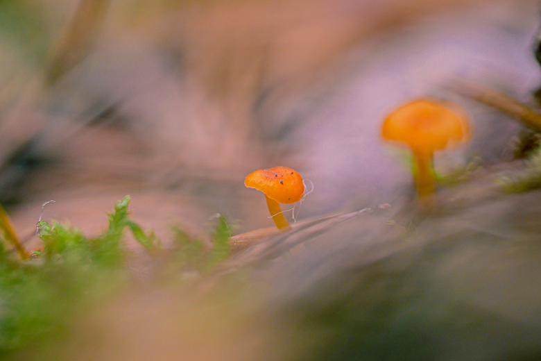 Dreamy little orange mushrooms -