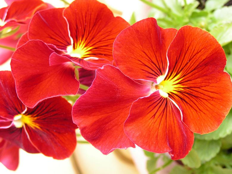 Rode viooltjes - Een paar mooie viooltjes, lekker fel.