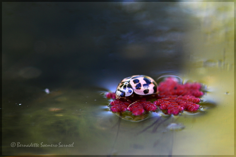 Op een onbewoond eiland - Dit lieveheersbeestje is gestrand op een miniwaterplantje, de kleine kroosvaren.