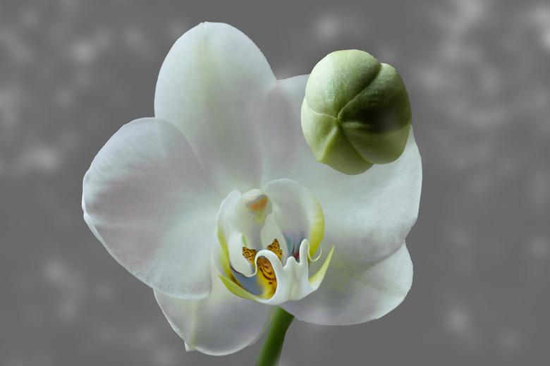 orchidee  - Orchidee met knop