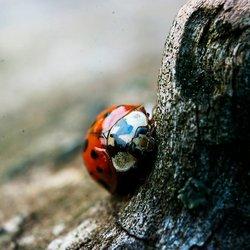 Nieuwschierig Lieveheersbeestje