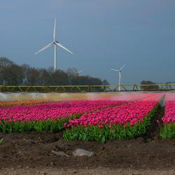Tulpenvelden worden besproeid