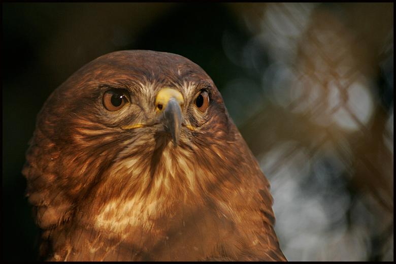 Roofvogel in Best Zoo - Je ziet dat het beest achter tralies zit, stoort dat?