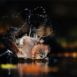 Gaai neemt een bad